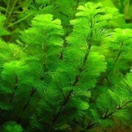 PLANTA NATURAL CABOMBA CAROLINIANA