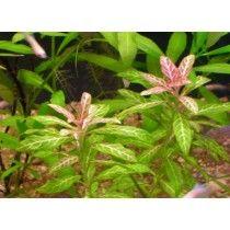 PLANTA NATURAL PARA ACUARIO HYGROPHILA POLYSPERMA X 5 TALLOS