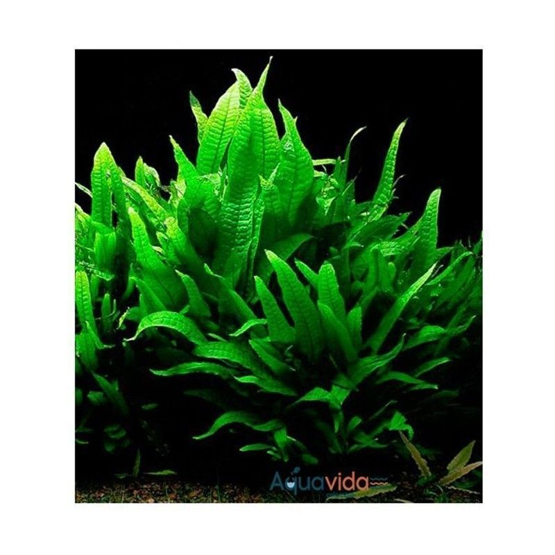 Planta Natural Para Acuario Helecho de Java