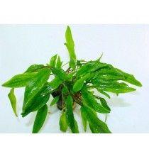 PLANTA NATURAL CRYPTOCORYNE WENDTII