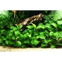 PLANTA NATURAL ANUBIA SP